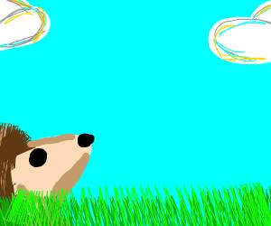 Hedgehog looking at the sky