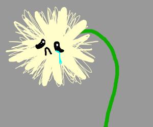 sad dandelion