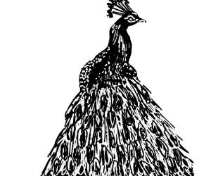 Black & White Peacock