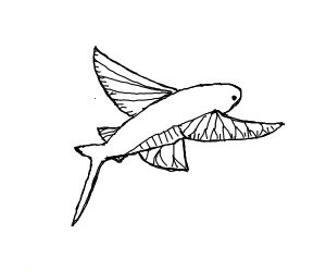 An amazing drawing of a flying fish (Species)