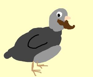 Bearded pigeon