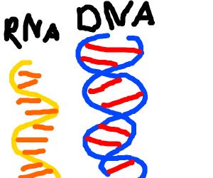 Diagram of DNA & RNA