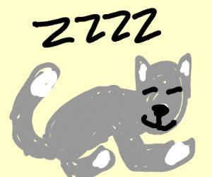 Sleeping gray tabby