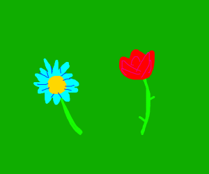 Blue daisy and a rose