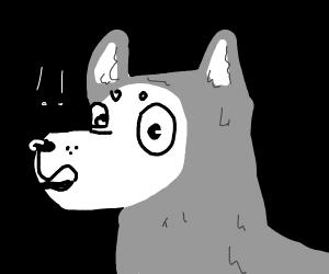 A shocked husky