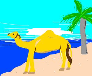 Camel in Hawaii