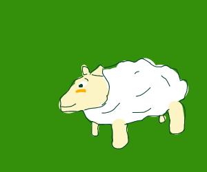 Sheep blushing