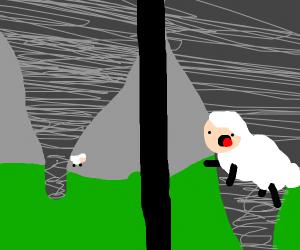 Sheep got caught in a tornado