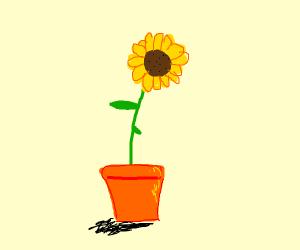 sunflower in a flower pot