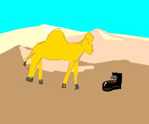 A Camel noticing a shoe
