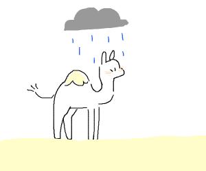 camel in the rain