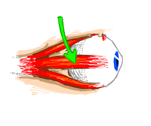 Medial Rectus Muscle (eye)