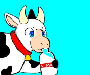 cow drinks milk