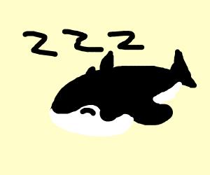 Sleeping orca
