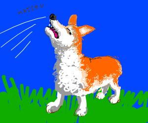 corgi sneezing