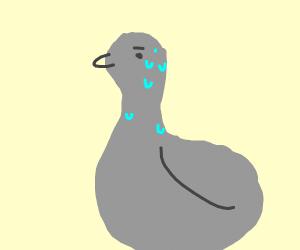 Sweaty Pigeon