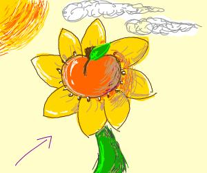 Peach sunflower