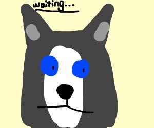 husky being a good boy