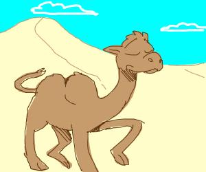 Sassy camel saunters