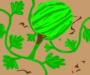 watermelon vine