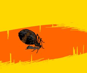 spider with big abdamin