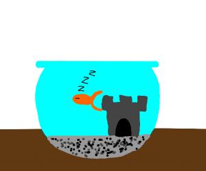Sleeping goldfish