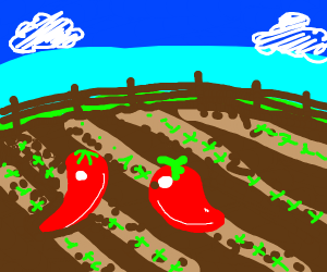 chilis in a field