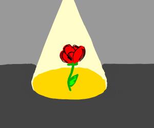 rose in the spotlight