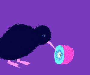 Kiwi Bird eating Kiwi fruit
