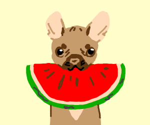 French bulldog eats watermelon