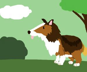 A sheltland sheepdog