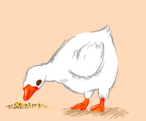 Fat duck eats food