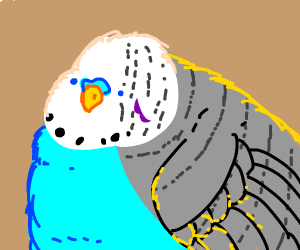 Budgie close up