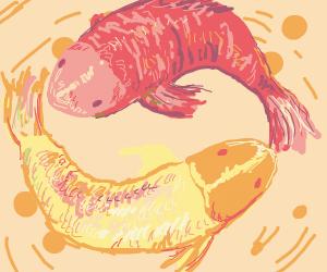 Koi carps in love
