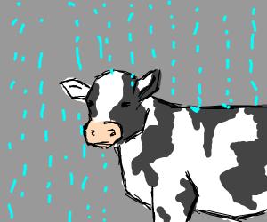 Cow in the rain