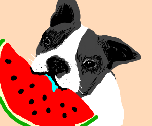 Boston Terrier eating a watermelon