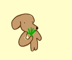 Dog ate weed