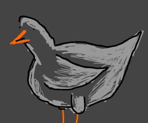 cute chubby pigeon