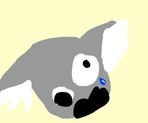 A crazy koala