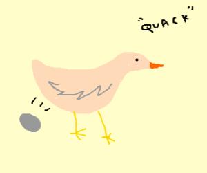 Ducks laying eggs