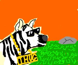 Zebra's thug life in savanna