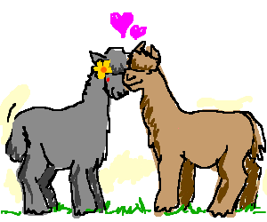 Two happy alpacas loving each other