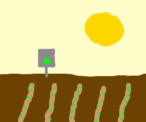 Peas growing in sunny field