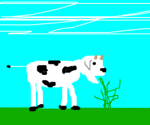 Cow with stick thin tail eating grn spag