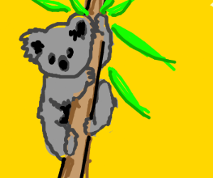 Koala chewing bamboo for his life