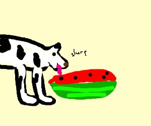A dog is slurping on watermelon.
