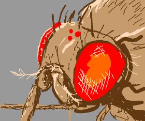 Drosophilia Melanogaster