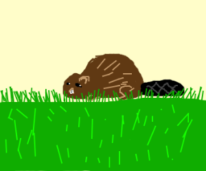 Beaver in the grass