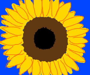 A very large sunflower