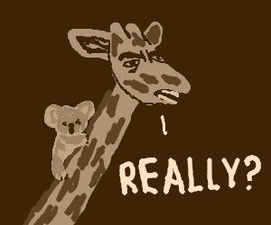 Kualas think giraffes are eucalyptus trees
